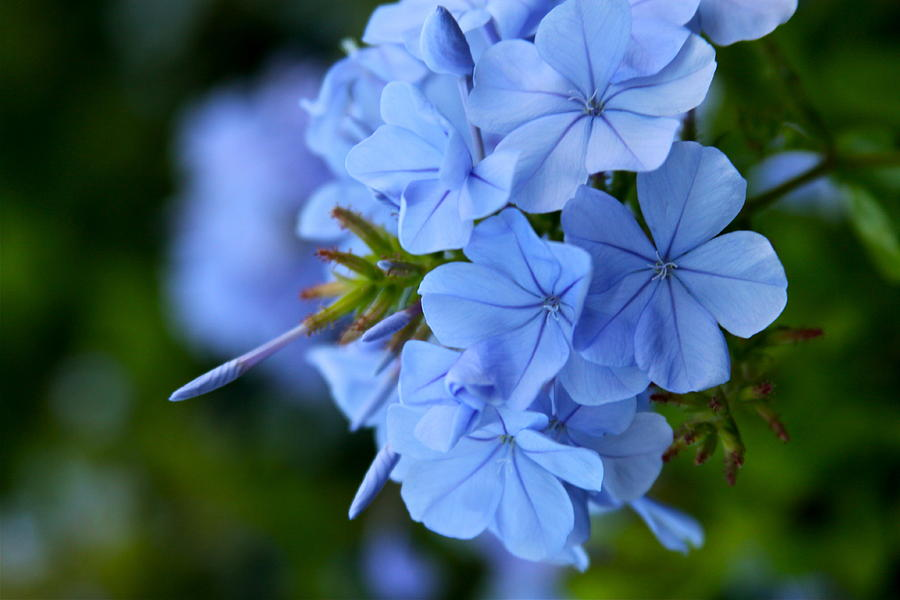 skyflower-imperial-blue-plumbago-karon-melillo-devega